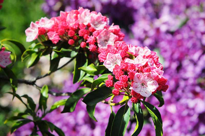 A close up horizontal image of Kalmia latifolia buds and flowers pictured in bright sunshine on a soft focus background.