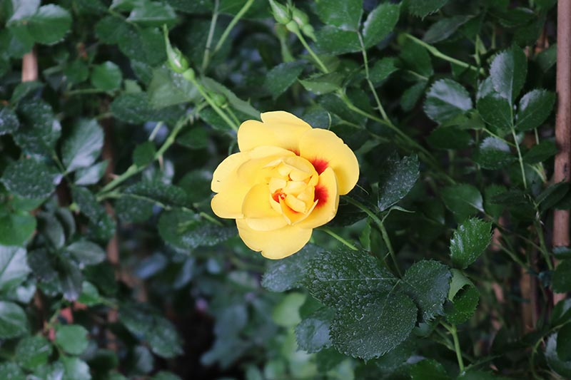 A close up horizontal image of a yellow camellia flower with bright red center pictured with foliage in the background.