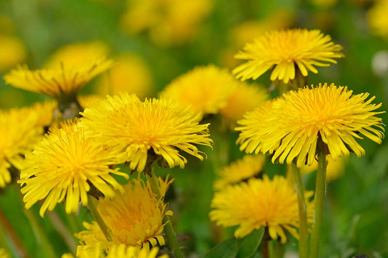 A close up horizontal image of bright yellow Taraxacum officinale flowers growing in the garden pictured on a soft focus background.