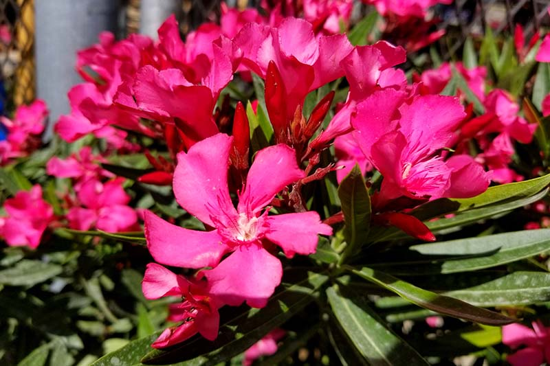 A close up horizontal image of the bright pink blooms of Nerium 'Calypso' growing in the garden pictured in bright sunshine and fading to soft focus in the background.