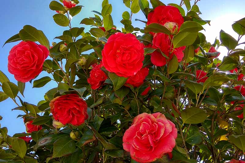A close up horizontal image of flowering camellia in the garden pictured on a blue sky background.