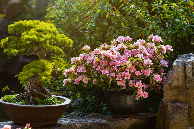 A horizontal image of a garden scene of a potted camellia growing outdoors with a bonsai tree to the left of the frame.