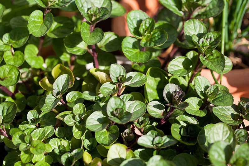 A close up horizontal image of Mentha 'Chocolate' growing in containers on a sunny patio.