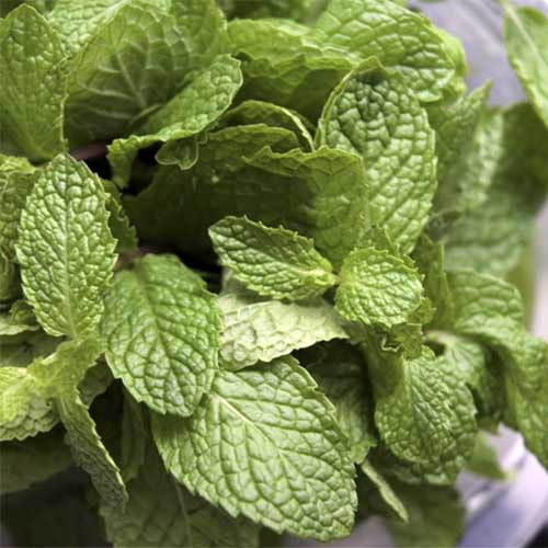 A close up square image of a small Mentha × piperita f. citrata 'Chocolate' plant in a pot.