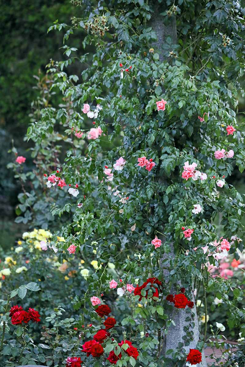 A close up vertical image of a rose bush climbing up a tree, covered in pink, white, and red flowers, pictured on a soft focus background.