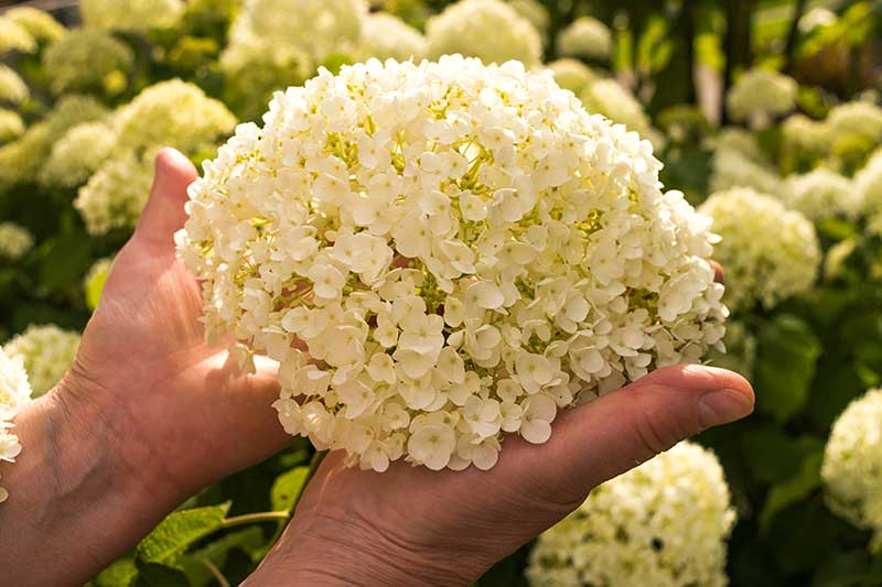 A close up horizontal image of two hands from the left of the frame holding a large white flower pictured on a soft focus background.