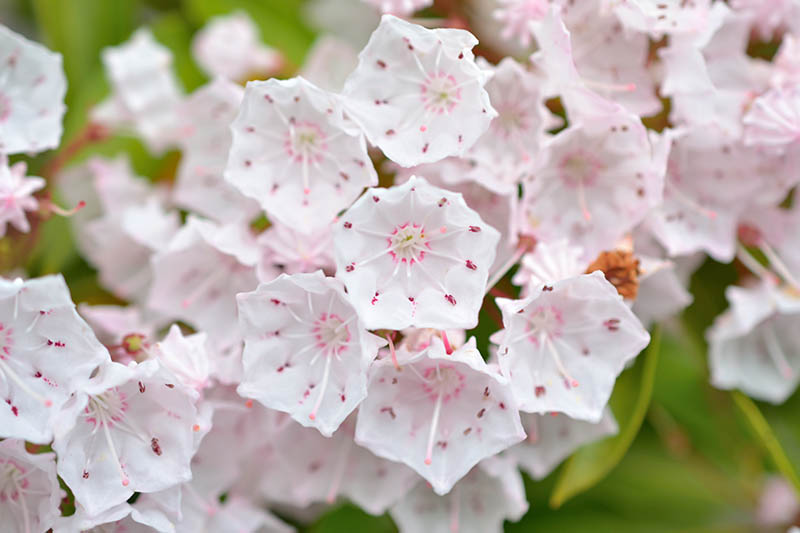 A close up horizontal image of the white and pink tiny blossoms of Kalmia latifolia growing in the garden.