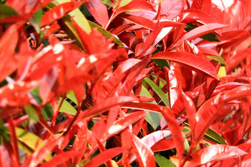 A close up horizontal image of vibrant red foliage pictured in bright sunshine.
