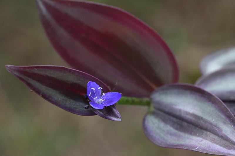 A close up horizontal image of a foliage plant with one tiny blue flower, pictured on a soft focus background.