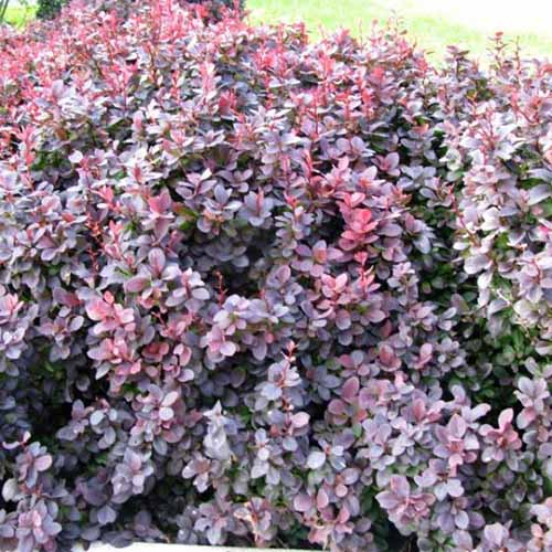 A close up square image of 'Concorde' barberry growing in the garden.