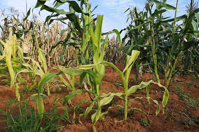 A horizontal image of a corn field full of plants suffering from stress and disease.