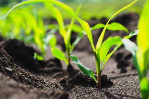 What Is Corn Seedling Blight?