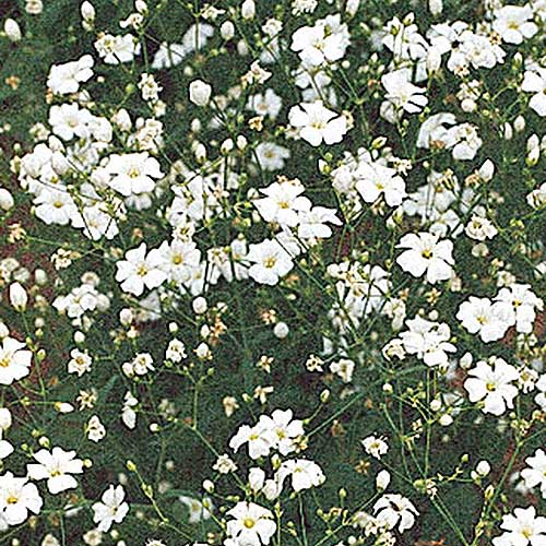 A close up square image of Gypsophila 'Covent Garden' growing in the garden.
