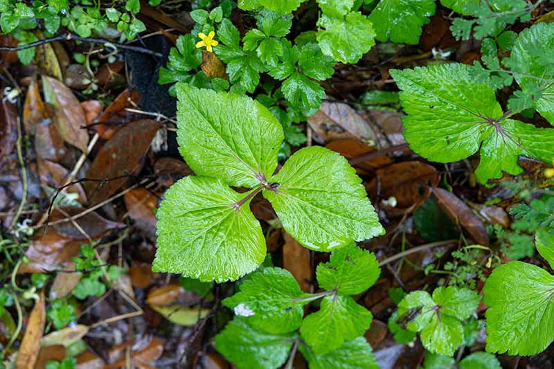 A close up horizontal image of Cryptotaenia japonica growing in the garden surrounded by fallen leaves.