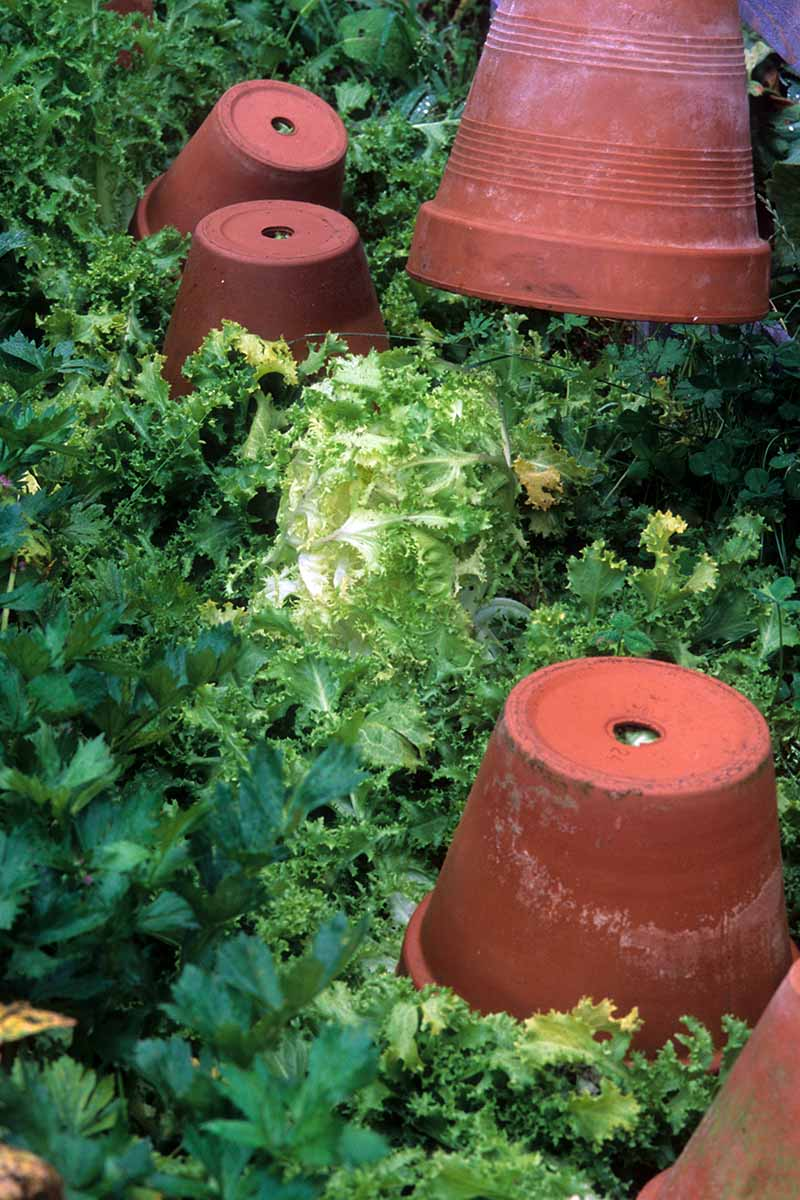 A close up vertical image of Cichorium endivia frisee growing in the garden with terra cotta pots used for blanching.