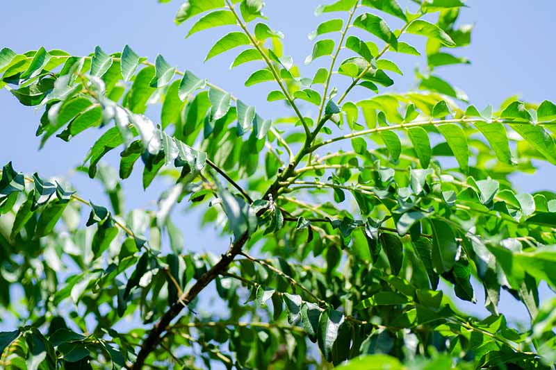 A close up horizontal image of the foliage of a curry leaf tree growing outdoors in bright sunlight on a blue sky background.