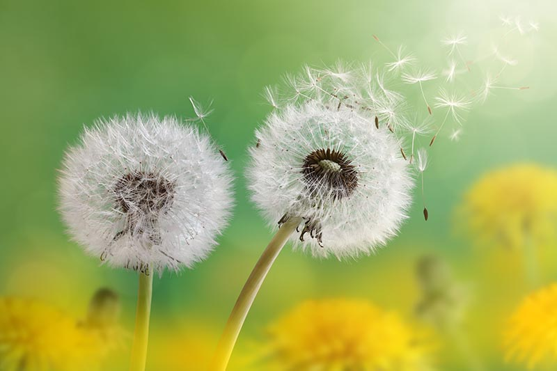 A close up horizontal image of Taraxacum officinale seeds blowing away pictured in light sunshine on a soft focus green and yellow background.