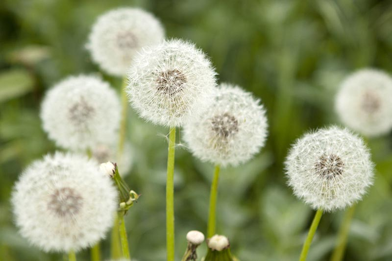 A close up horizontal image of the round seed heads of Taraxacum officinale pictured on a soft focus background.