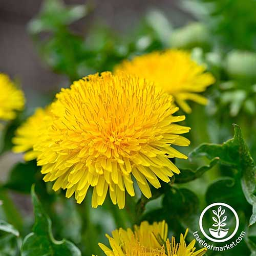 A close up square image of bright yellow dandelion flowers growing in the garden pictured on a soft focus background. To the bottom right of the frame is a white circular logo with text.