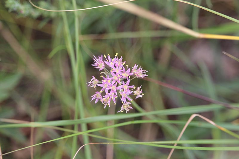 A close up horizontal image of a delicate pink flower of Allium stellatum growing in the garden pictured on a soft focus background.