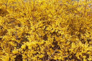 5 Tips for Pruning Forsythia