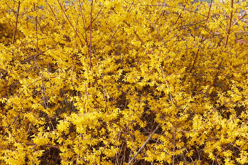 A close up horizontal image of the bright yellow blooms of a flowering shrub in the spring garden.