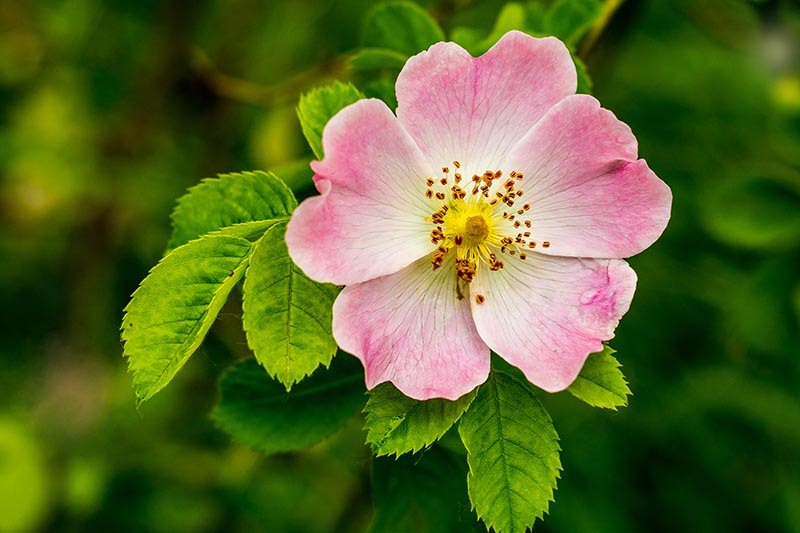 A close up horizontal image of the pink flower of Rosa canina, pictured in light sunshine on a green soft focus background.
