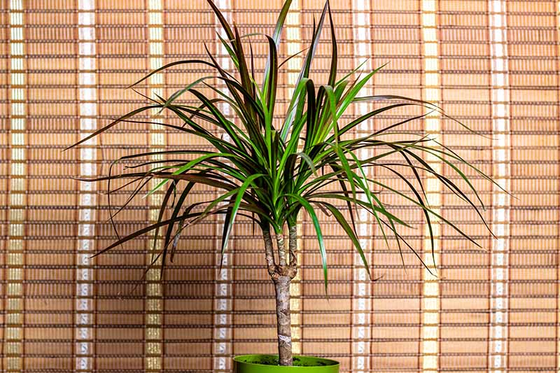 A close up horizontal image of a potted houseplant growing indoors in front of a bamboo screen.