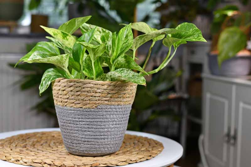 'Epipremnum Aureum Marble Queen' pothos house plant with white variegation in natural basket ,