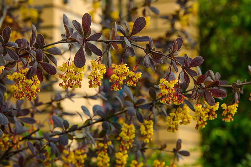 A close up horizontal image of a branch of a Berberis vulgaris shrub laden with clusters of yellow flowers contrasting with the dark red foliage.