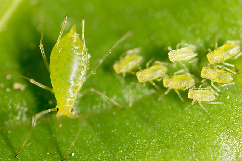 A close up horizontal image of a family of sap-sucking aphids feeding on the leaf of a plant.