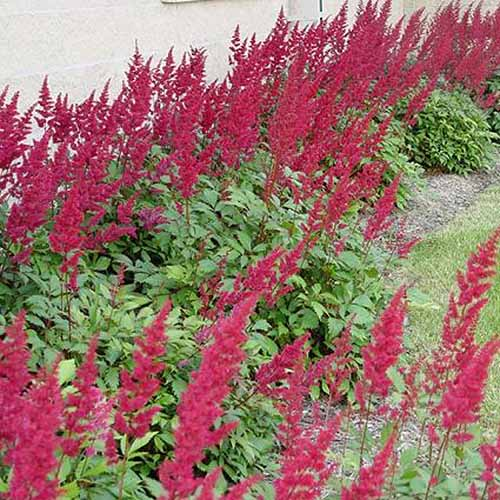 A close up square image of a garden border featuring the bright red flowers of A. x arendsii 'Fanal' growing beside a stone wall.
