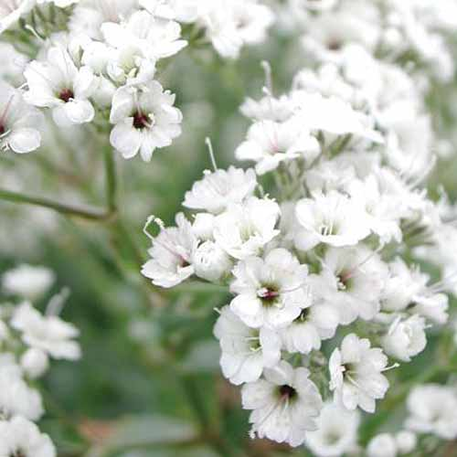 A close up square image of Gypsophila 'Festival Star' growing in the garden pictured on a soft focus background.