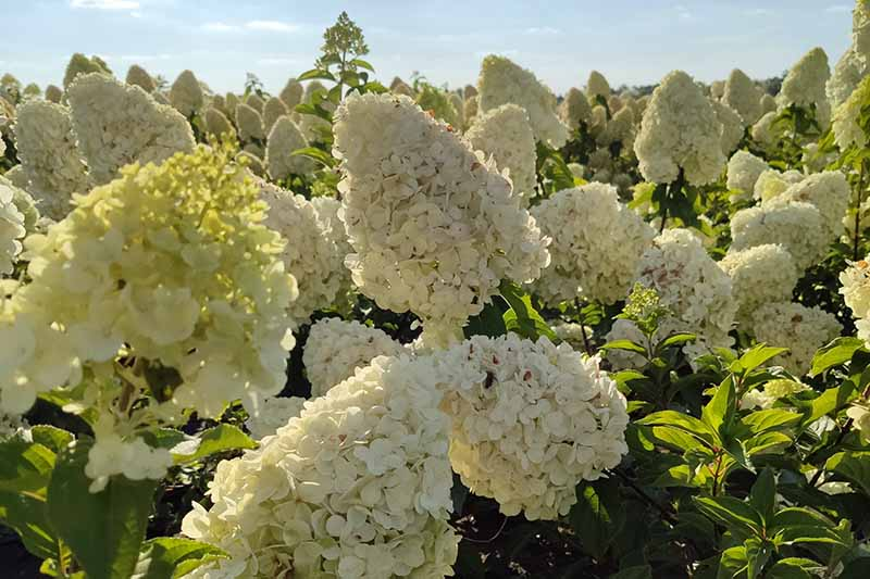 A horizontal image of a field of H. arborescens flowers growing in bright sunshine pictured on a blue sky background.