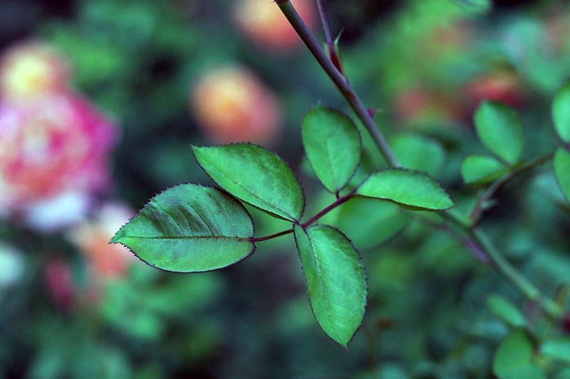 A close up horizontal image of the foliage of a rose shrub pictured on a soft focus background.