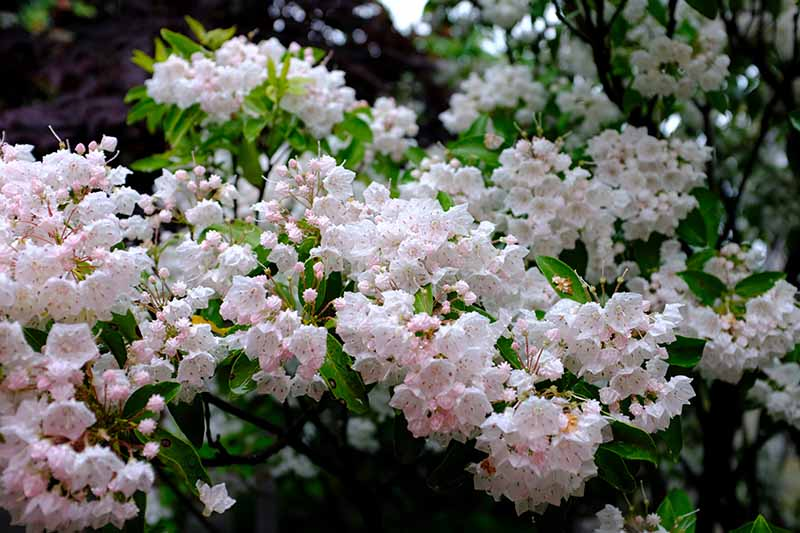 A close up horizontal image of a Kalmia latifolia shrub in full bloom growing in the garden.