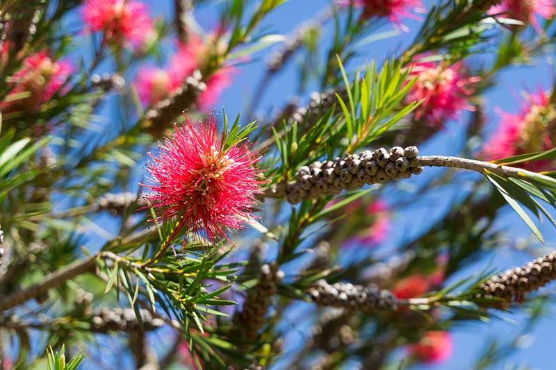 A close up horizontal image of bottlebrush flowers pictured in bright sunshine on a blue sky background.