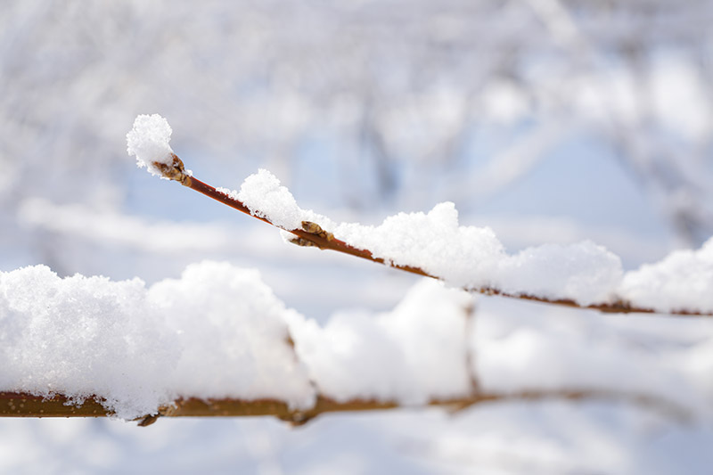 A close up horizontal image of the branches of a woody shrub covered in a layer of snow pictured on a soft focus background.