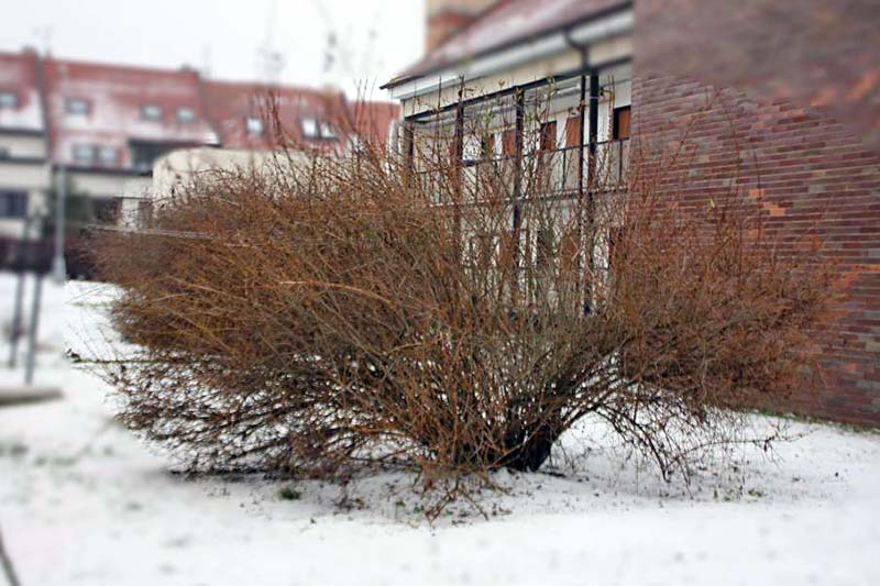A horizontal image of a forsythia shrub planted outside a red brick building with no leaves or flowers growing from the snow covered ground.