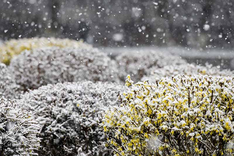 A close up horizontal image of perennial forsythia shrubs growing in the garden covered in a light dusting of snow.