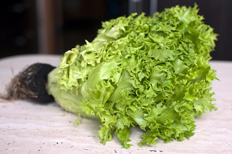 A close up horizontal image of a freshly harvested head of frisee salad with roots still connected set on a countertop pictured on a soft focus background.