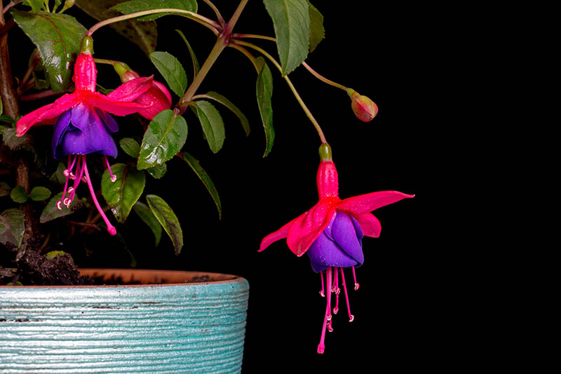 A close up horizontal image of fuchsia flowers growing in a blue ceramic pot pictured on a dark background.