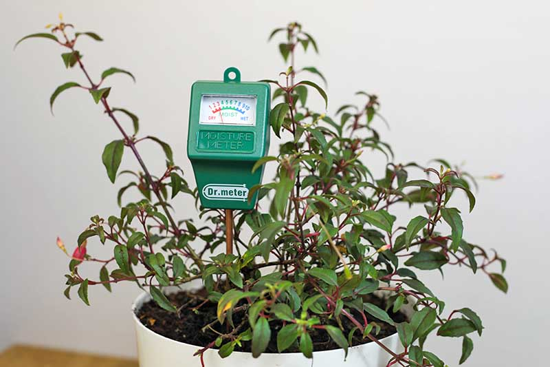 A close up horizontal image of a houseplant growing in a white pot with a moisture meter.