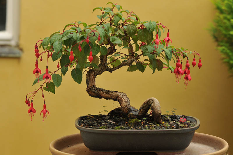 A close up horizontal image of a fuchsia plant growing as a bonsai tree indoors.