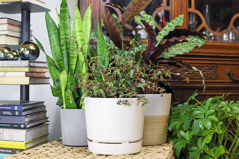 A close up horizontal image of a collection of houseplants as interior decor.
