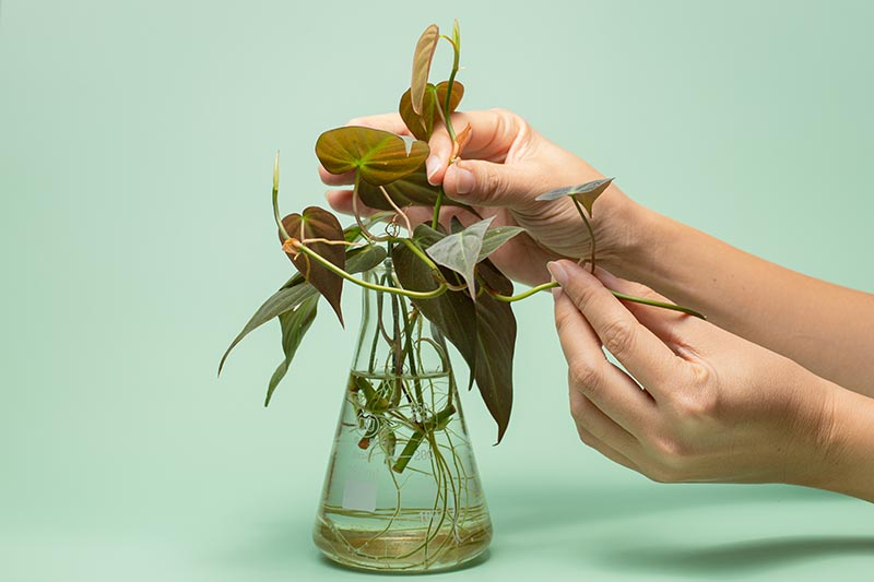 A close up horizontal image of two hands from the right of the frame examining stem cuttings in a glass beaker, pictured on a green background.