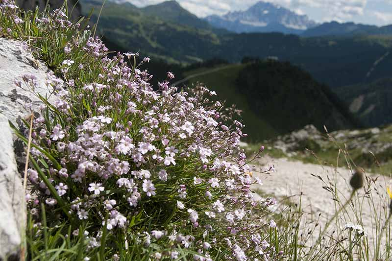 A horizontal image of a rocky hillside with Gypsophila repens growing wild, with mountains in the background.