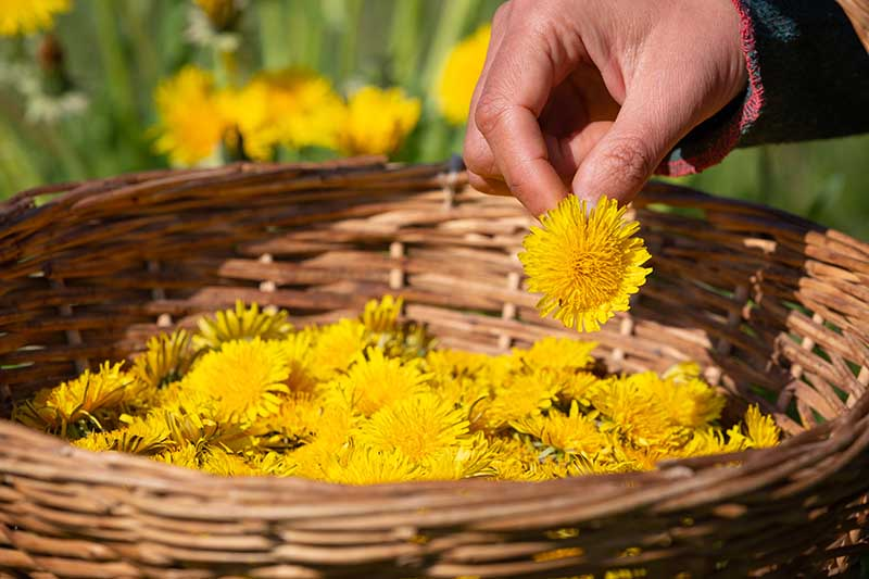 A close up horizontal image of a hand from the right of the frame placing a dandelion flower into a wicker basket, pictured in bright sunshine.