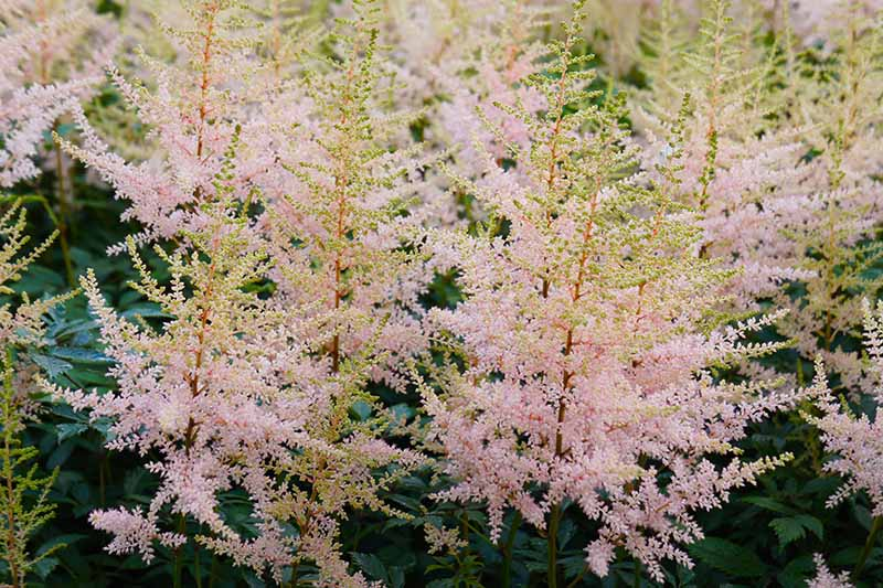 A close up horizontal image of astilbe 'Hennie Graafland' blooming in the garden with foliage in soft focus in the background.