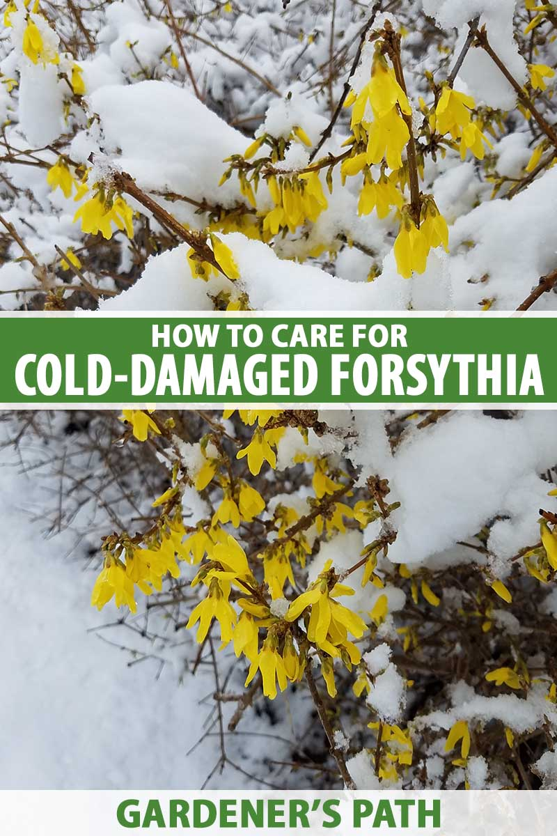 A close up vertical image of a forsythia shrub with bright yellow flowers covered in a blanket of snow. To the center and bottom of the frame is green and white printed text.